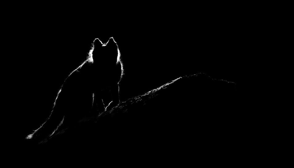Polar fox I.jpg