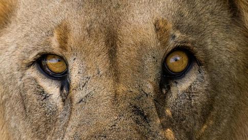 Lion eyes.jpg