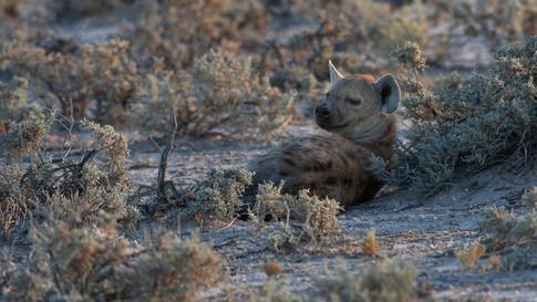 Resting hyena.jpg