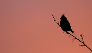 Waxwing at sunset.jpg