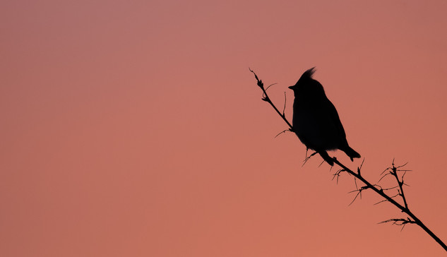 Waxwing at sunset.jpg