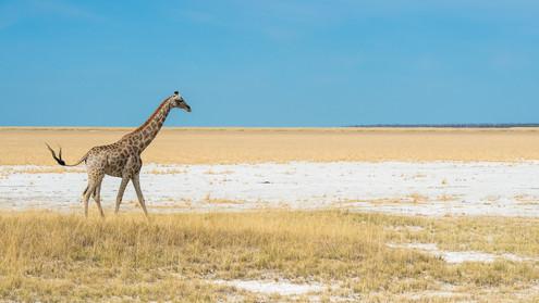 Giraffe in Etosha.jpg