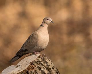 Eurasian collared dove.jpg