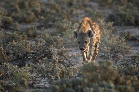 Spotted hyena I.jpg
