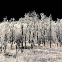 Frosted birch.jpg