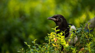 Magpie in the heath.jpg