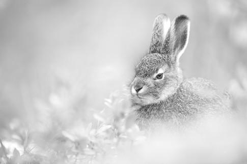 The hare.jpg