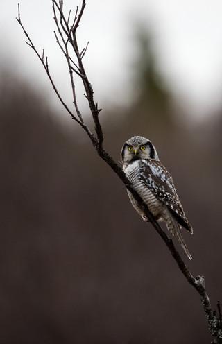 Hawk-owl.jpg