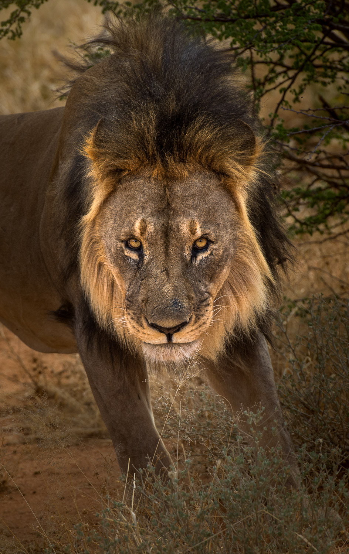Lions stare.jpg