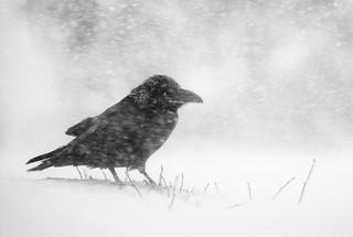 Raven in the blizzard.jpg