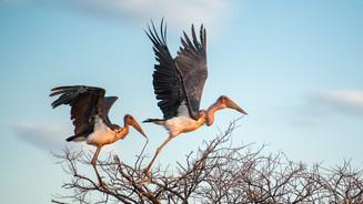 Marabou stork.jpg