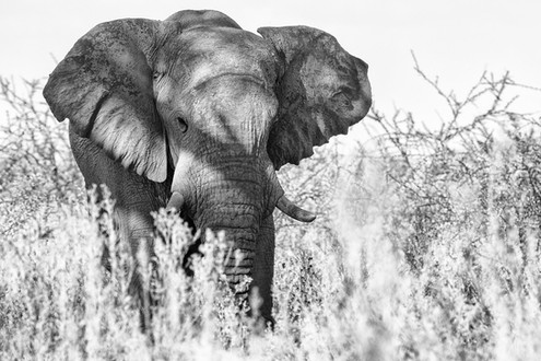 Elephant in Etosha.jpg