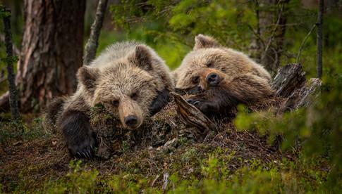 Resting cubs.jpg