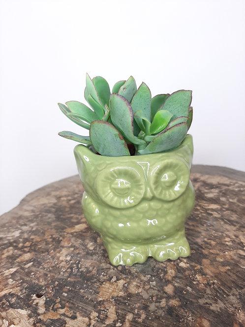 Succulente avec pot Hiboux
