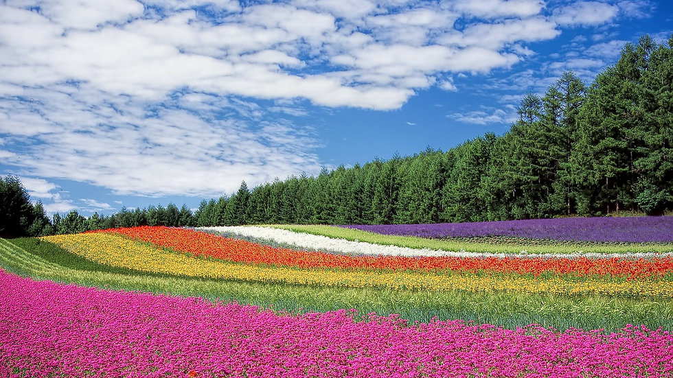 Hokkaido 1-Day Sightseeing Taxi Plan - Furano & Blue Pond Nature (Midsize Car)