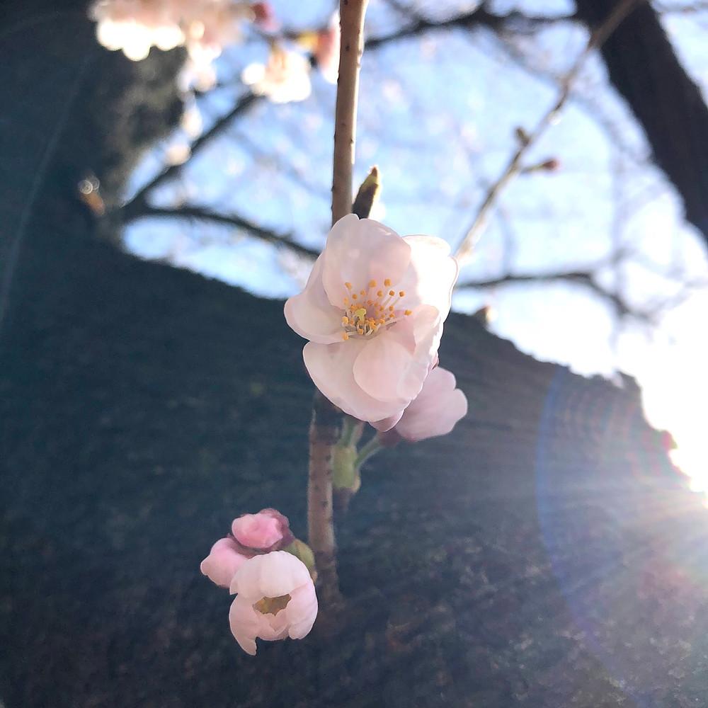 The Sakura Gallery