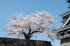 cherry-blossoms-301254_1920.jpg
