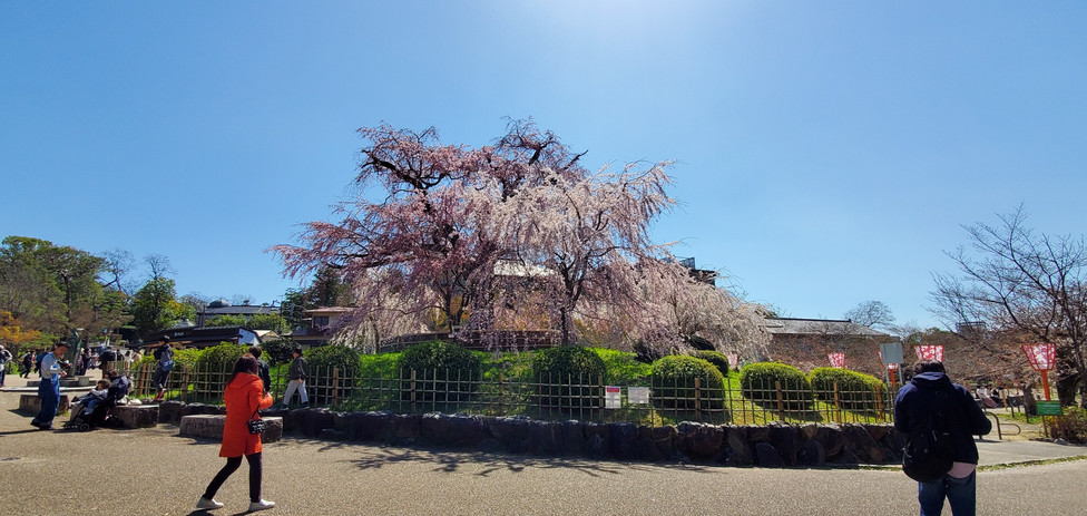 Maruyama Park, Kyoto, Miyabi Kyoto Kanko Taxi
