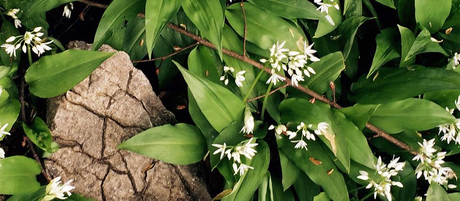 Frühlingsfrisches Bärlauchpesto mit feinem Montaniola Olivenöl