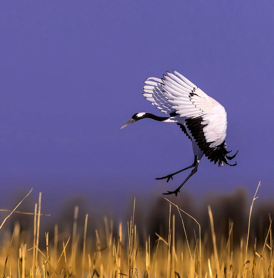 Photo Tour Bhutan Black Necked Crane