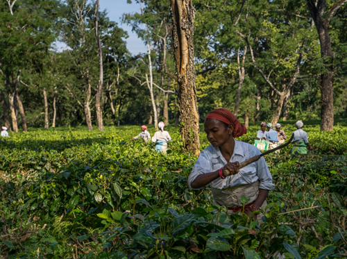 Photography Holiday Assam Tea Estate