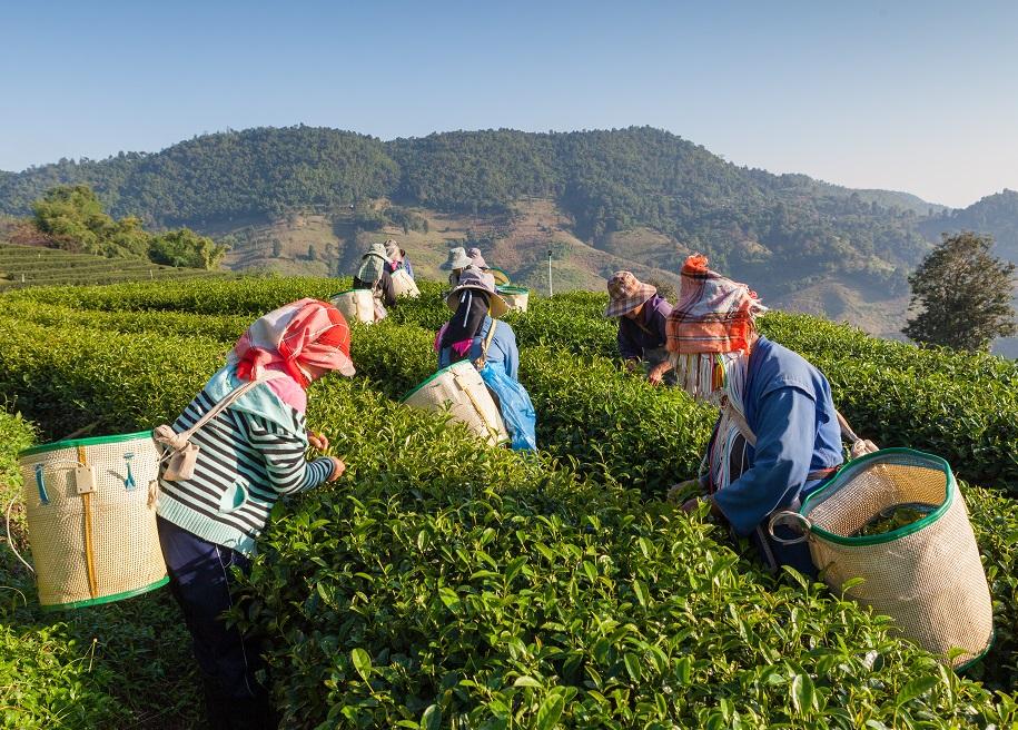 Tea Harvesting Darjeeling