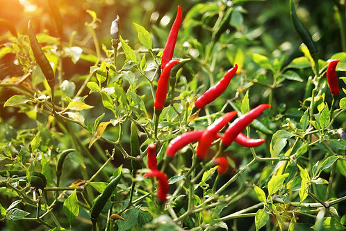 Chilli Pepper Farm