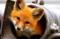 Foxes, Family and Following Jesus