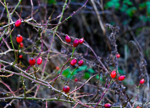December Rosehips