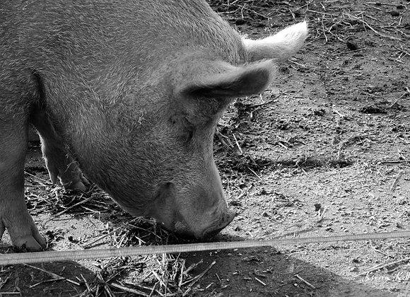 Snuffling Pig