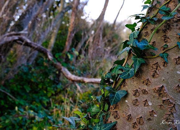 Ivy on Tree Trunk