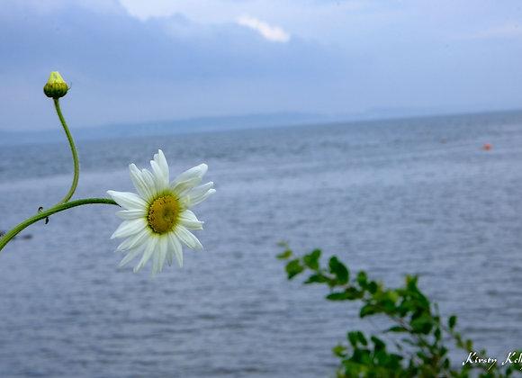 Daisy and the Shore