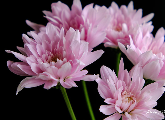Pink Flowers Close Up