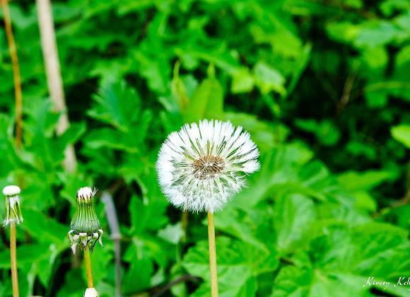 Dandelion Three