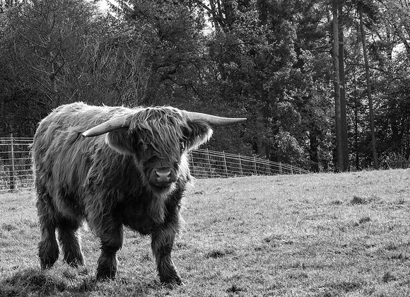 Single Highland Cow