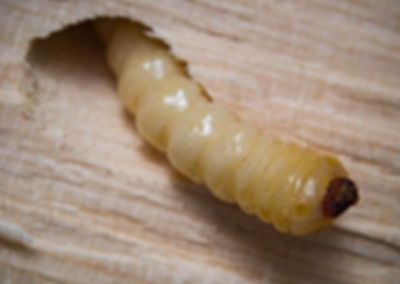 Woodworm-2_compressed.jpg