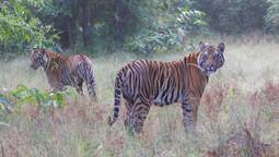 Les tigres de Bandavgarh, Madhya Pradesh