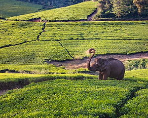 3X5A1880_wild-elephantsighted-in-tea-est