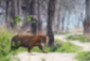 Tigre safari a ranthambore
