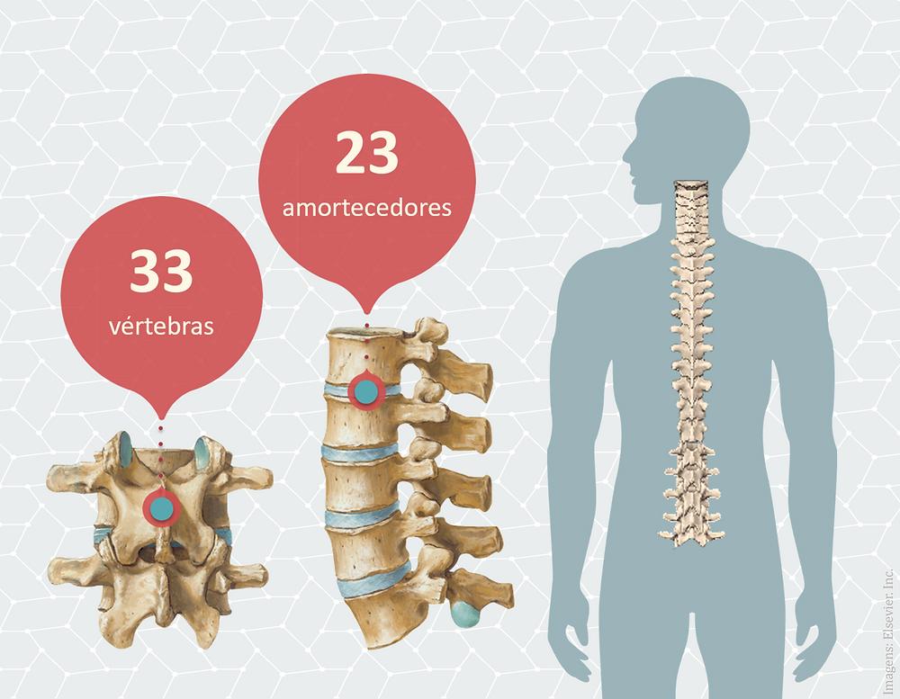 Infográfico mostrando que possuimos 33 vértebras e 23 amortecedores.