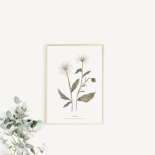 Oxeye Daisy Art Print