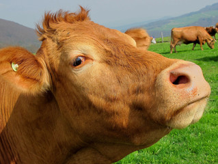 Should You Send Your (Sacred) Cows to Pasture?
