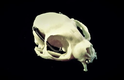 Harpyr's head: The base shape is a replica of a cat's skull