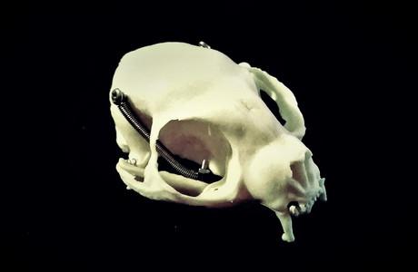 Harpyrkopf: Die Grundform bildet das Modell eines Katzenschädels