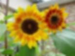 sunflower on patio small.jpg