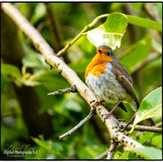 Red Robin in Tree