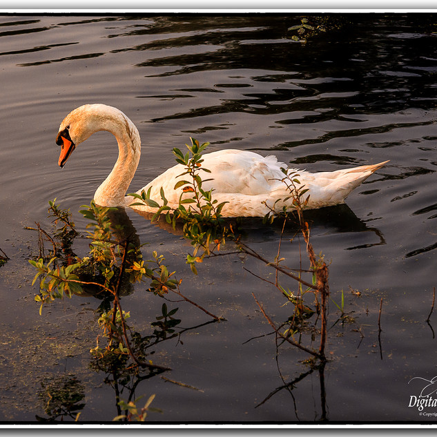 Swan @ Camlough Lake Newry