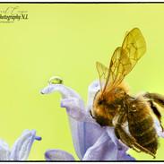 Bee Pollinating.jpg