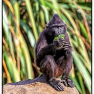 Monkey Eating 1