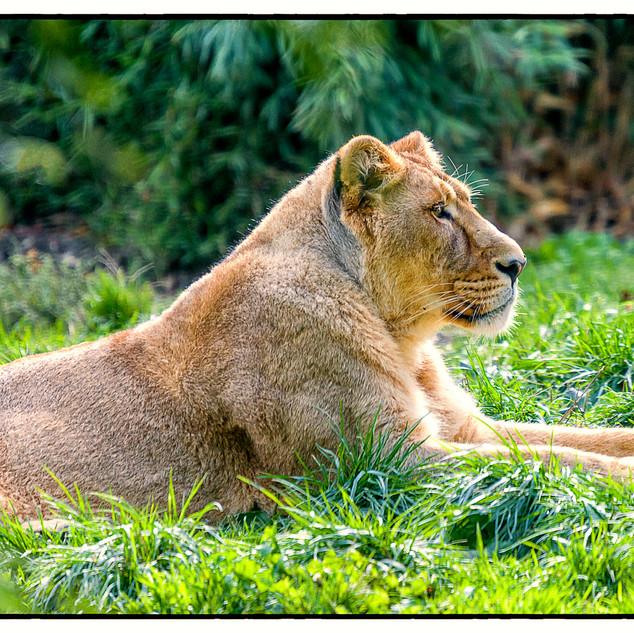 Lion at Rest 3